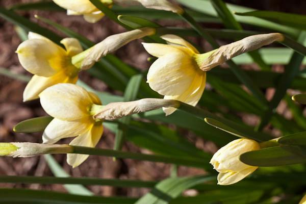 Narcissus, Spring Flower in Madison Wisconsin Garden