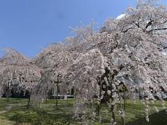 P1030414 (yhshangkuan) Tags: japan spring kyoto blossom bloom  cherryblossom sakura  fullbloom 2011 apr7 daigoji