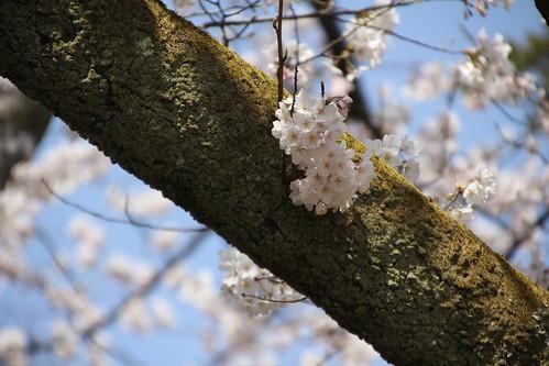 苔むす桜の枝