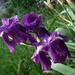 2011-04-14_pluie_iris