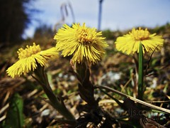 Coltsfoot, Asker, Norway - Spring (trondjs) Tags: flowers flower floral norway closeup canon norge spring raw blomster g11 asker coltsfoot 2011 hestehov trondjs leirfivel vår