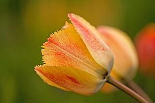 tulip trio [Explore]
