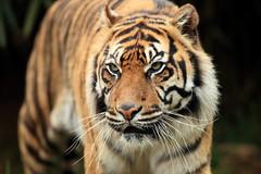 Padang (Mark Butcher) Tags: tiger sumatran southlakeswildanimalpark flickrbigcats