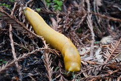 Banana Slug Photo