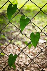 [79/365] GreenLove (Zuri. A) Tags: dog green love nature beautiful field leaves yard hearts hojas photography amazing raw shot amor venezuela awesome prairie avila vede photograpfy canon550d canoneosrevelt2i
