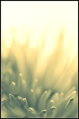white petals (DorkyMum) Tags: light white abstract flower macro whiteflower petals pale petal ethereal