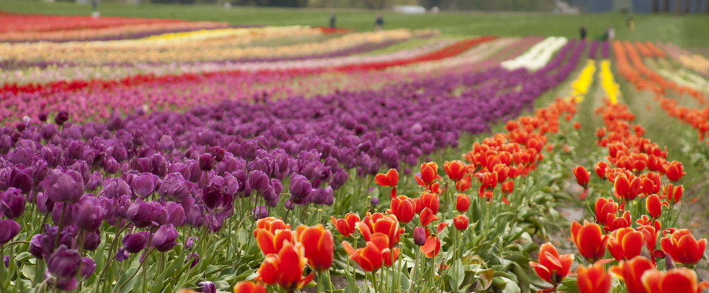 wooden shoe tulip farm 28