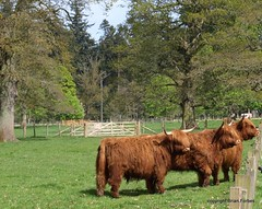 Highland Cattle at Glamis. (B4bees) Tags: castle field grass scotland gate beef steak attention herd highlandcattle coos heifers glamis glamiscastle heilan
