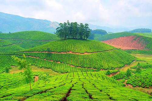 Munnar -Tea Garden by matey_88