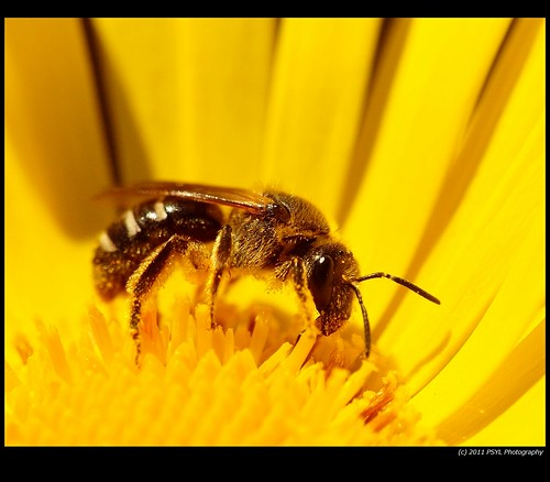 Possible Sweat Bee (Halictus spp.)