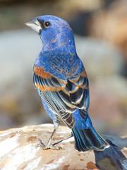 Blue Grosbeak (Dan Pancamo) Tags: bird nature birds texas april quintana 2011 bluegrosbeak passerinacaerulea canon7d canon14xii quintananeotropicalbirdsanctuary canon300mmf28isusm kenko14xpro300