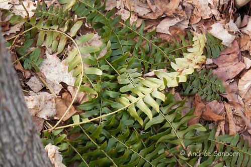 Christmas Fern (Polystichum acrostichoides) (1 of 2).jpg
