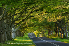 Beech Tree Avenue, Kingston Lacey, Dorset (David Crosbie) Tags: trees england leaves landscape countryside spring dorset avenue springtime wimborne beechtrees kingstonlacey superaplus aplusphoto