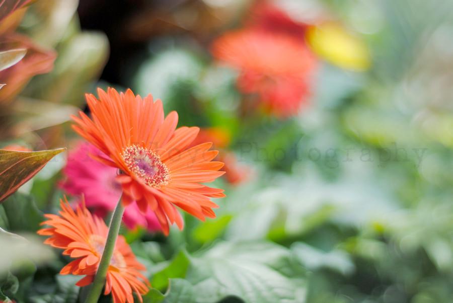 Garden Center - Gerbera Daisy