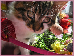 Cute Easter Kitty Cat Kitten in Home Garden Art Decor with Easter Eggs, Stuffed Bunny Rabbits & Spring Flower Basket with Daffodils & Tulips on an Easter Holiday Weekend in Canada. Cute Kitty Cat Kitten ...Kitty Cat Kitten...Cute Kitty Cat Kitten... IMGP8 (Chantal PhotoPix) Tags: family pink flowers decorations friends light wallpaper portrait cats pets holiday canada flower color cute rabbit bunny bunnies art nature beautiful beauty animals photoshop canon painting easter fun photography photo interestingness spring amazing funny colorful day basket purple artistic photos sweet pastel background awesome egg interestingness1 kittens best hires baskets kitties eggs tabbies felines rabbits lovely multicolored decor hdr cutecats easterbunny eastereggs homeandgarden easteregg cutekittens easterbasket easterrabbit easterbunnies easterbaskets homegarden mainecoons chantalc easterrabbits lolcats chantal777livecom