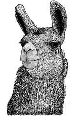 Llama (karl_addison) Tags: life black cute art peru nature animal illustration pen ink paper fur sketch artwork artist drawing illustrated llama doodle draw drawn creature illustrate karladdison
