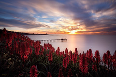 glowing aloe (scripps pier) (max vuong) Tags: ocean california longexposure winter red cactus plants seascape max flower green water landscape pier flora university sandiego blossom blossoms smooth wideangle lajolla bloom uc ucsd scripps aloevera 10stop bw110 canon5dmkii lenspath