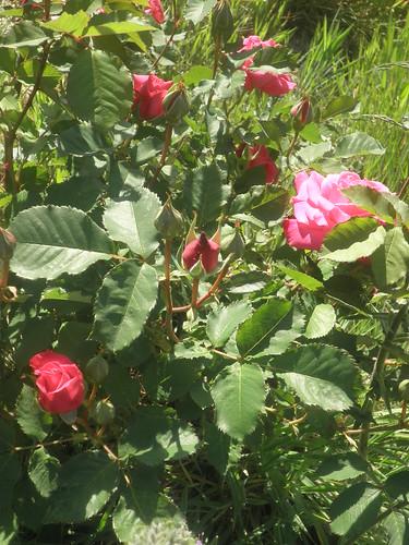 rosas vermelhas no Parque