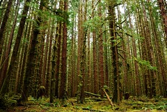 A wall of tall trees in Olympic National Park (WorldofArun) Tags: march washington fishing nikon rainforest hunting olympicpeninsula worldheritagesite nativeamerican pacificocean olympicnationalpark mountolympus olympicmountains natives theodoreroosevelt pacificcoastline 18200mm nativeindians d40x internationalbiospherereserve worldofarun olympicwilderness mountolympusnationalmonument europeansettlers arunyenumula
