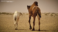 The Deserts Camel (Abdulmalik-KSA) Tags: camel