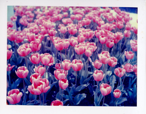 Polaroid 669 Findlay Tulips