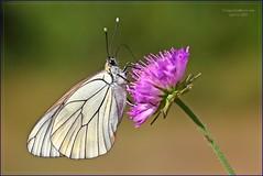 IL RIFORNIMENTO (Siprico - Silvano) Tags: butterfly natura farfalla cernuscosulnaviglio naturalistica abigfave macrofografia macro siprico fotografianaturalistica pricoco silvanopricoco wwwpricocoorg httpwwwpricocoorg wwwfotografiamacrocom fotografiamacrosbuzznbugzcanonsoloreflexmacrofotografiafotografia