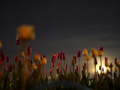 slither through the tulips (khoa_sus2) Tags: leica moon night pen long exposure flickr moody meetup tulips ottawa olympus moonrise tulipfestival lowperspective dowslake summitar epl2 ofmmay2011