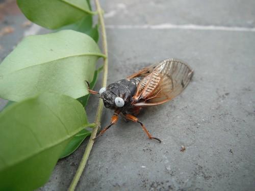 White eyed Cicada