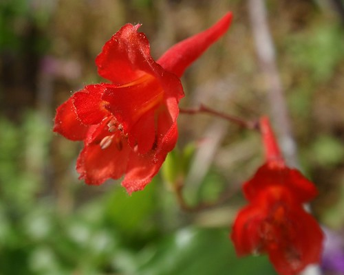 Canyon Larkspur 01