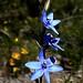 blue lady Thelymitra crinita
