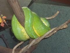 Anglų lietuvių žodynas. Žodis snake reiškia 1. n gyvatė; a snak in the grass paslėptas pavojus; nematomas priešas; a snak in one's bosom nedėkingas žmogus; 2. v rangytis kaip gyvatei lietuviškai.
