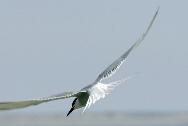 Roseate tern flying 2011