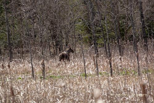 Runaway Pond Moose  -12.jpg