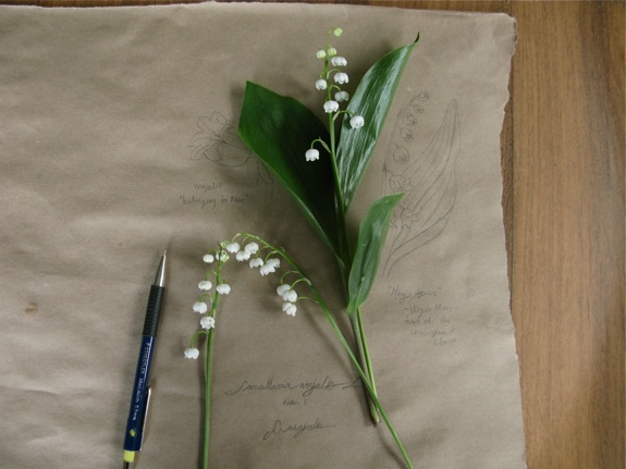 lily of the valley botanical diagram 002
