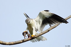 Black Shoulder Kite #6 (kengoh8888) Tags: kite black mouse ngc prey shoulder largebirds mygearandme