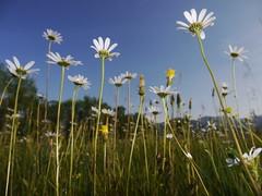 Daisy Daisies Margeriten Flower Meadow Blumen Nature Spring (hn.) Tags: flowers copyright flower nature daisies germany bayern deutschland bavaria spring heiconeumeyer europa europe angle flash natur oberbayern upperbavaria