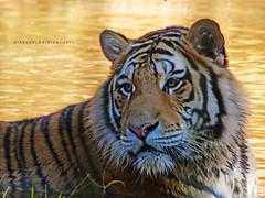 Na água (Giancarlos F. Martins) Tags: zoo feline tn tiger felino zoológico gian tigre pantheratigris mamífero felidae chordata zoológicodeamericana giancarlos parqueecológicodeamericana carnívores lumixfz40