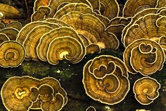 Fungus on Decaying Wood (Michael Graupe) Tags: rainforest costarica fungus dominical haciendabaru