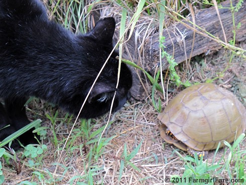 Mr. Midnight inspects a turtle in the kitchen garden - Farmgirl Fare