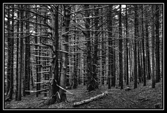 Skeleton Forest (FiddleFlix) Tags: trees blackandwhite bw monochrome dead tennessee northcarolina hdr appalachiantrail deadtrees 3xp photomatix fraserfir carversgap at hdrextremes roanhighlands hdraddicted niksilverefexpro