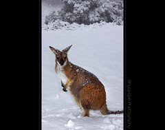 Braving The Elements (rhyspope) Tags: winter snow eye nature animal canon nose paw natural flash australia claw kangaroo wallaby ear aussie bounce oberon roo jenolan 500d centraltablelands specanimal rhyspope