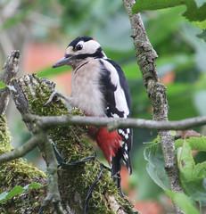 Woodpecker 3 (ahisgett) Tags: greater spotted woodpecker dendrocopus major