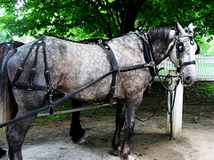 workhorse in harness (Hayseed52) Tags: shaker lexington horse harness dapple grey rides