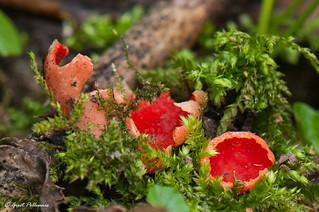 Sarcoscypha sp.: Rode kelkzwam (S. coccinea) en Krulhaarkelzwam (S.