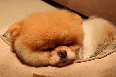 boo_Pomeranian_Dog_17