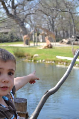 Fort Worth Zoo, Homeschool Day at Zoo, Giraffe