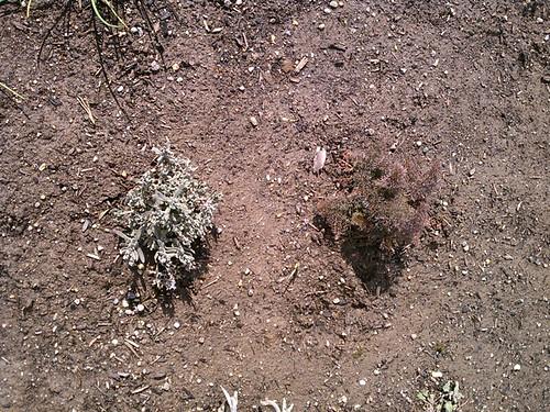 thyme, bronze fennel