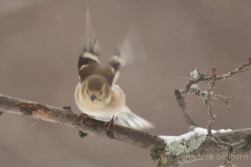 American goldfinch (winter plumage) (1 of 2).jpg