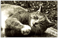 Daisy (melissa_dawn) Tags: bw cat fur furry feline whiskers picnik hww