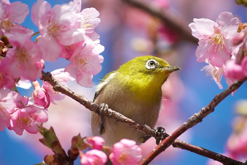 A close up shot of a Mejiro – or Japanese White-Eye – as he eats the nectar from the cherry blossoms. What a messy eater -- you can see it all over his mouth.